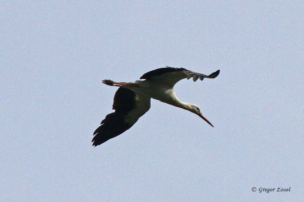 Überfliegender Weißstorch....am 31.05.15 Foto: Gregor Zosel
