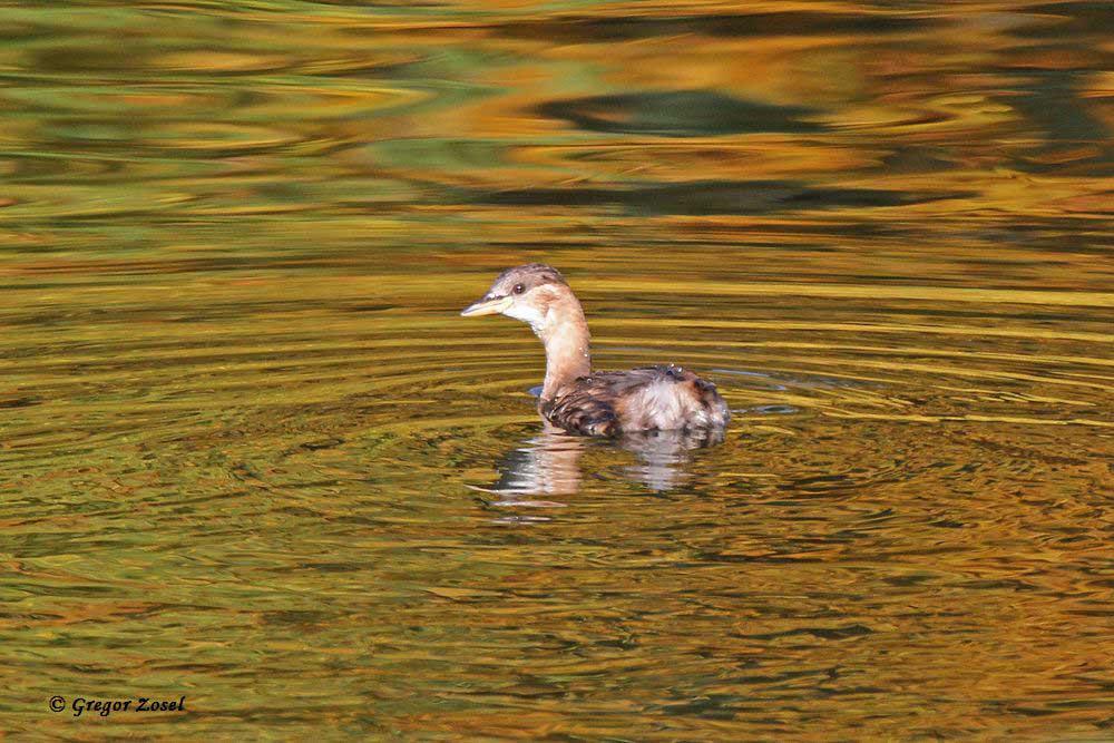 Zwergtaucher im goldenen Wasser des Obergrabens. Das spiegelnde Herbstlaub setzt traumhafte Farbakzente .....am 26.10.15 Foto: Gregor Zosel