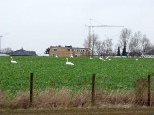 Höckerschwäne im Rapsfeld am 20.02.16 Foto: Hartmut Peitsch