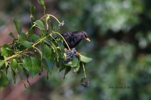Nur ein paar Zweige weiter das Männchen. 23.02.2016 (Foto: G.Reinartz)