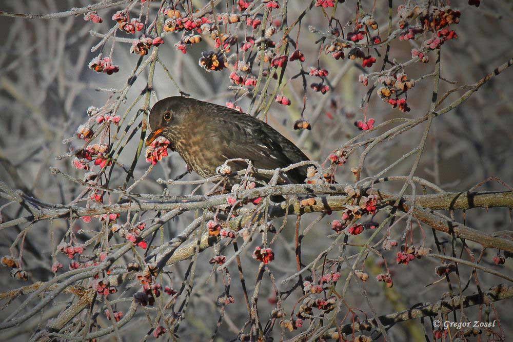 Die beerentragende Büsche entlang des Fahrradweges locken viele Vögel an, besonders die Amseln ...am 04.12.16 Foto: Gregor Zosel