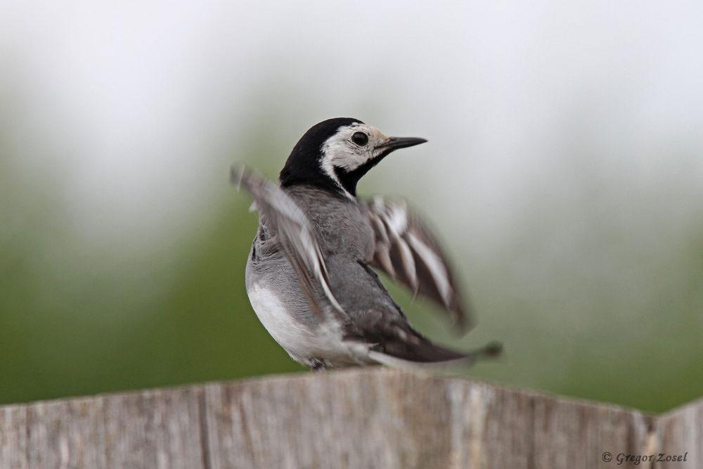 Auch die Zahl der flüggen Bachstelzen hat nun deutlich zugenommen. Hier ein warnender Altvogel auf dem Aussichtshügel...am 18.06.16 Foto: Gregor Zosel