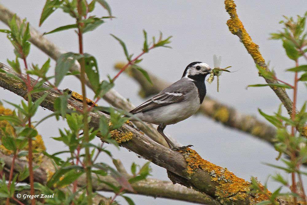 Bachstelze mit Futter für ihre flüggen Jungen. Hauptnahrung für die Jungen sind nun Eintagsfliegen und Kleinlibellen....am 19.06.16 Foto: Gregor Zosel