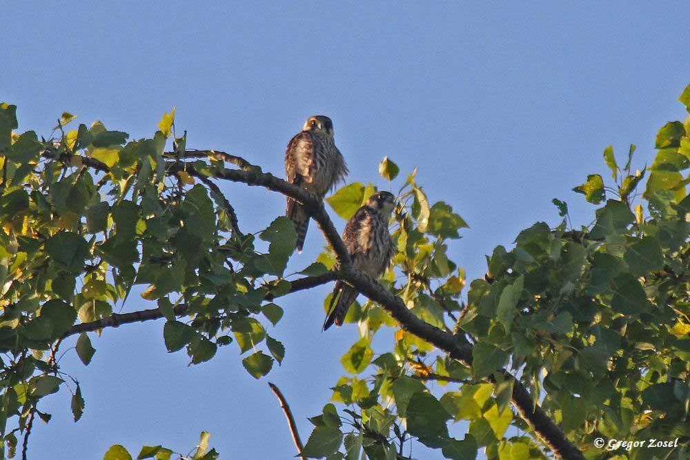 In einem Baumwipfel sitzen 2 Jungvögel und warten auf den Altvogel, der hoffentlich Beute mitbringt.....am 30.08.16 Foto: Gregor Zosel