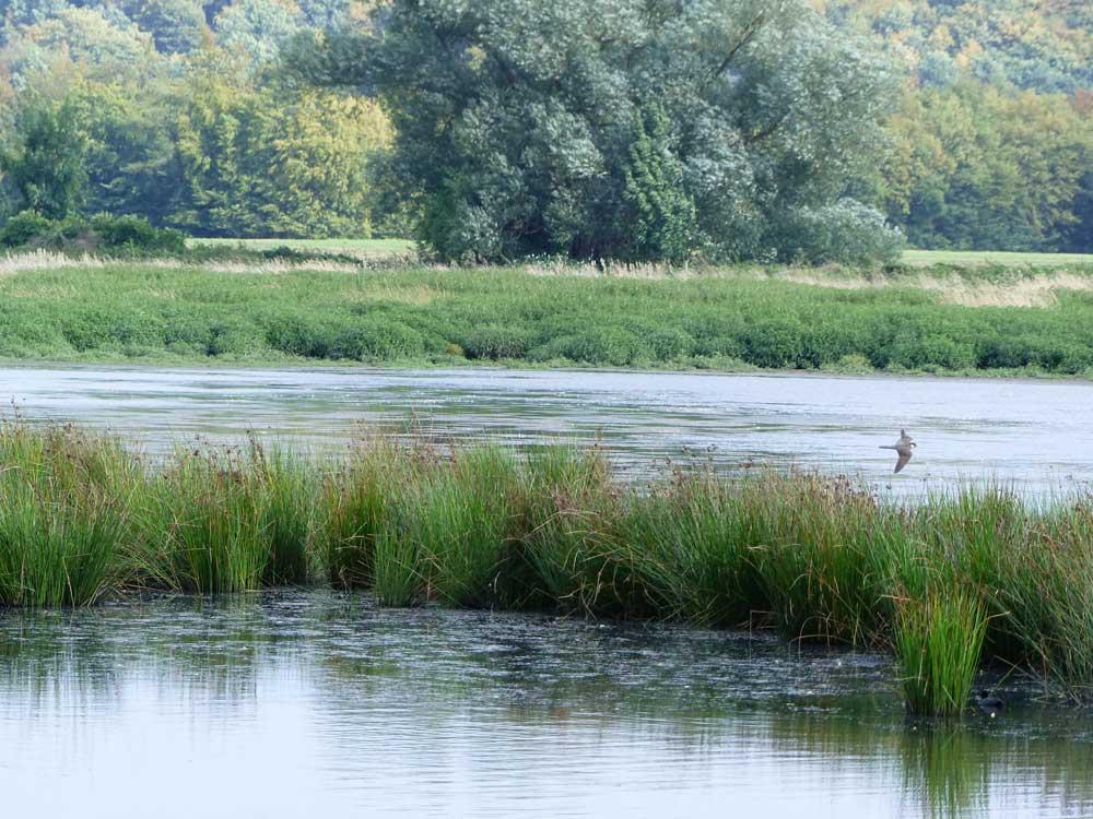 Jagender Baumfalke in den Röllingwiesen, 28.08.2016 Foto: Hans Joachim Göbel