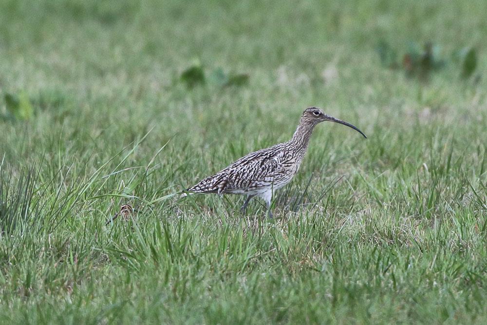 ... hier jedoch ist nicht etwa bereits ein Jungvogel im Schlepptau ..., 07.04.2016 Foto: Bernhard Glüer