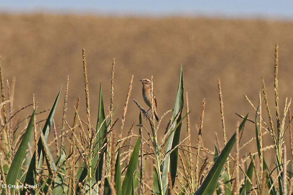 In den Maisfeldern ist es schon schwieriger, die Braunkehlchen zu entdecken.Tarnung ist halt alles.....am 26.08.16 Foto: Gregor Zosel