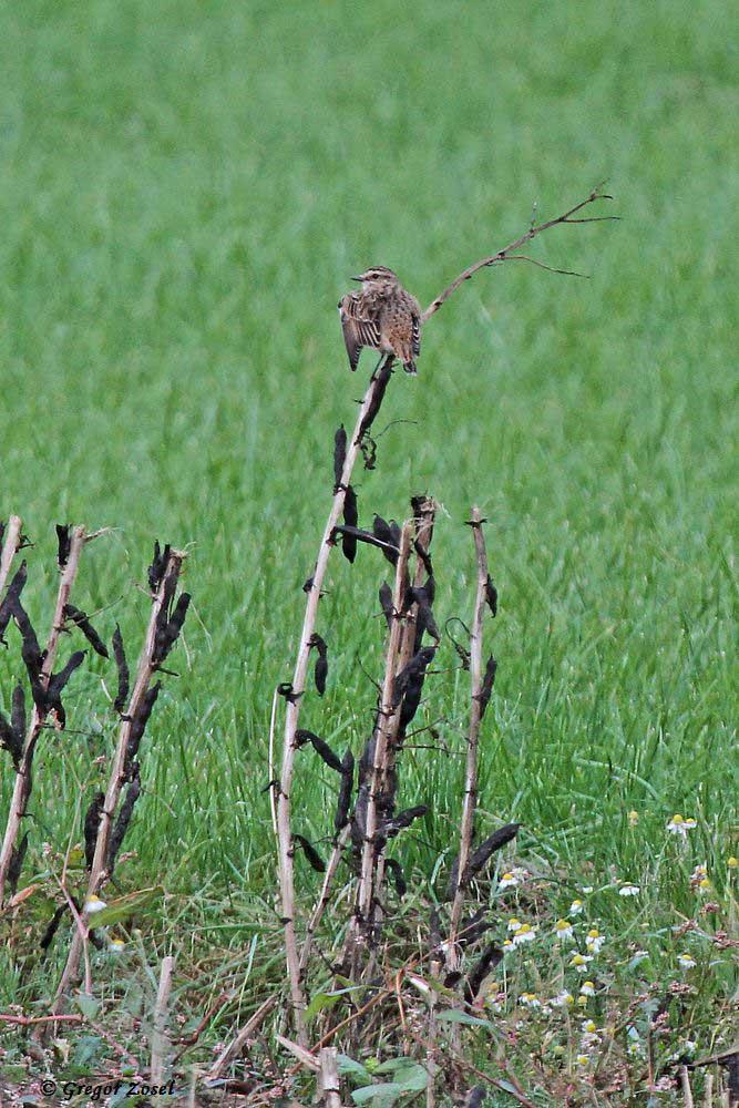Auch an weiteren Stellen, wie hier am Grünenbaum, konnte ich Braunkehlchen beobachten ....am 29.08.16 Foto: Gregor Zosel