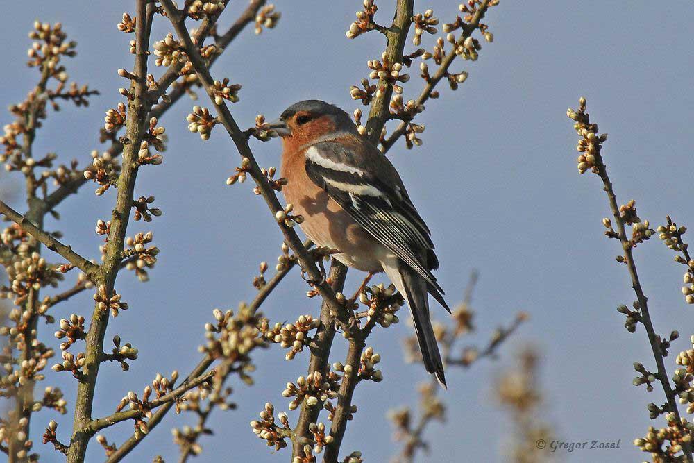 Zarte Knospen umschmeicheln den Gesang des Buchfinks....am 16.04.16 Foto: Gregor Zosel
