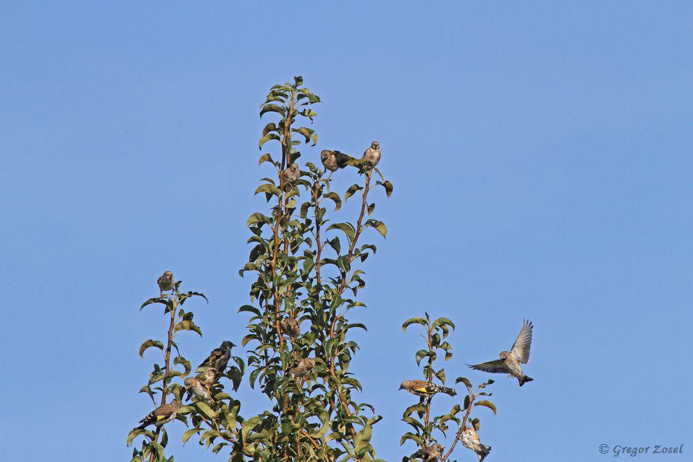 Immer wieder fliegen die Distelfinken in die sicheren Baumwipfel am Strassenrand. Unter den vielen Finken sind größtenteils dj. Vögel...am 03.09.16 Foto: Gregor Zosel