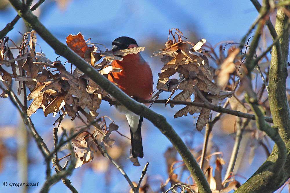 Die Dompfaffe haben sich wieder im Ahorn niedergelassen und knacken hier die Samen.....am 31.12.16 Foto: Gregor Zosel