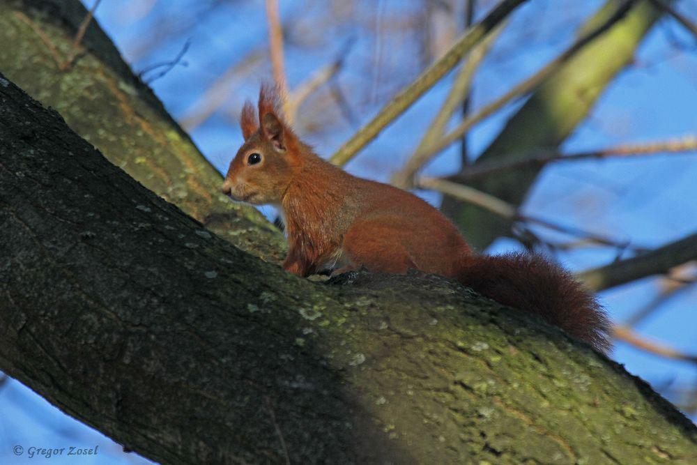 Ungewöhnlicher Anblick im untypischen Biotop; Eichhörchen in der Mendener Ruhraue...am 04.12.16 Foto: Gregor Zosel