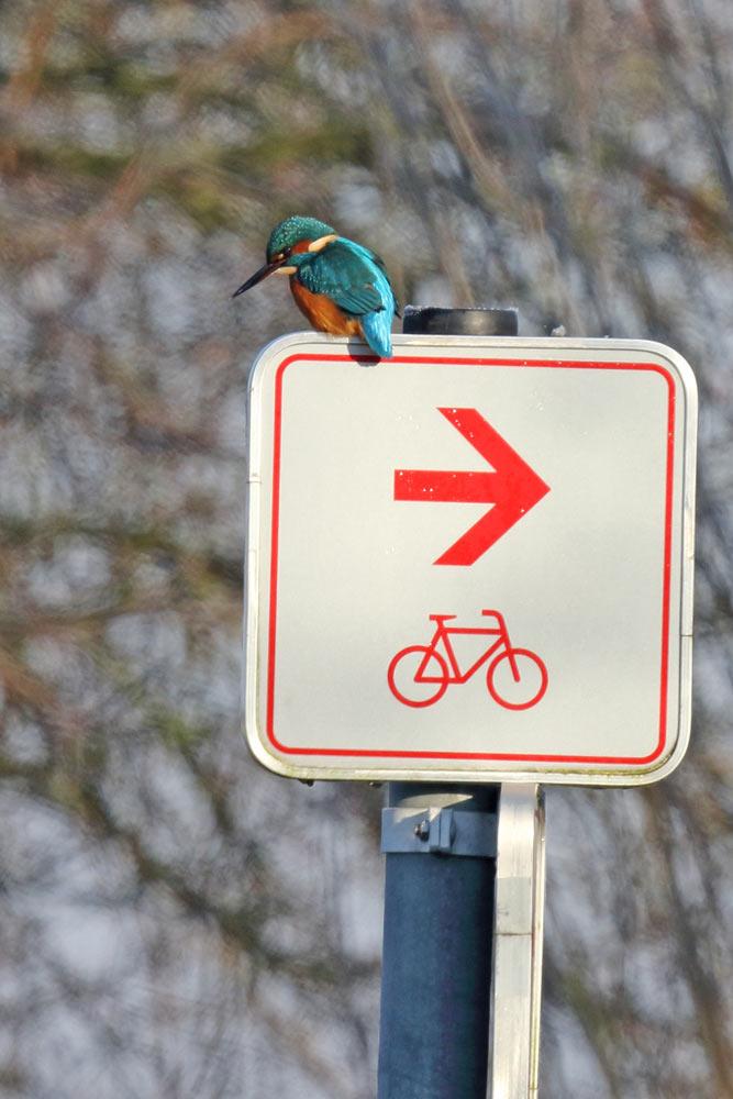 Radfahrer bitte rechts vorbei... - Eisvogel lauert auf Beute in der Amecke (Hemmerder Wiesen), 06.12.2016 Foto: Bernhard Glüer