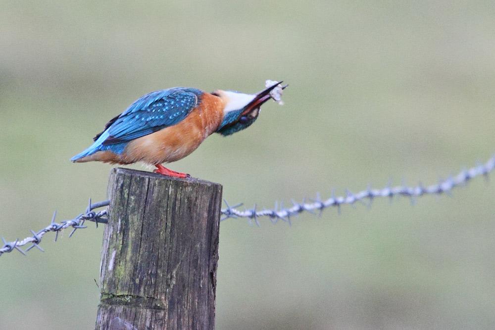 ... doch der Eisvogel (m) holt mächtig aus und will die stachlige Beute ..., 29.03.2016 Foto: Bernhard Glüer