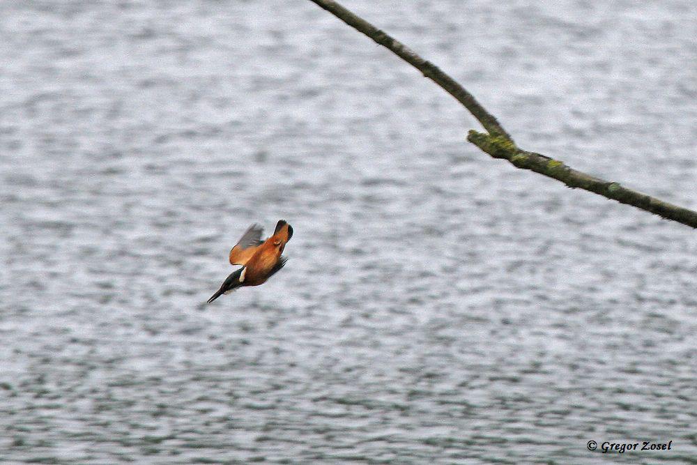 Mit der Versorgung der Jungvögel steigt auch die Chance, eine Eisvogel wieder zu Gesicht zu bekommen. Hier ein jagender Eisvogel am Aussichtshügel...am 18.06.16 Foto: Gregor Zosel