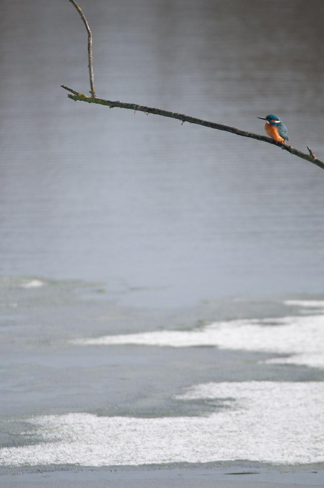 Eisvogel über den teilweise zugefrorenen Wasserflächen, nur kurz und auch ohne Fangversuch mustert er hier heute lediglich seine Ansitze und fliegt dann wieder runter zur Ruhr, am 17.01.2015 Foto: Marvin Lebeus