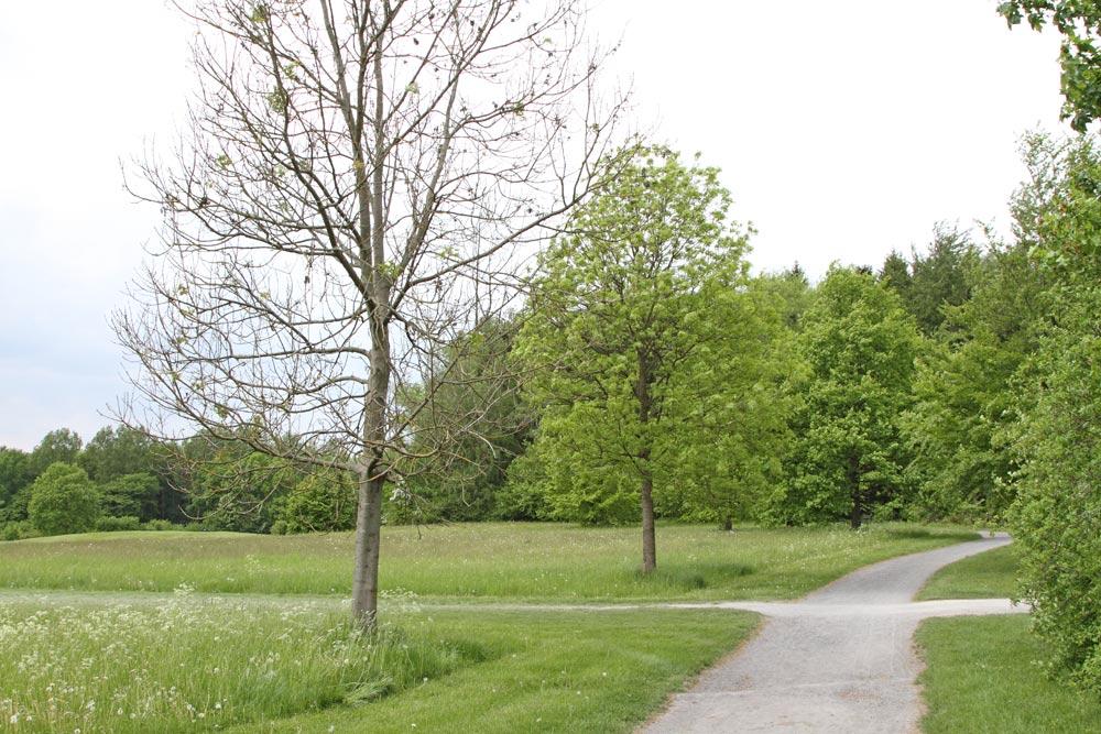 ... hier zwei gleichalte Eschen auf dem Golfplatz `Am Winkelshof´ links des Weges (Frdbg.) - die erste `hat bereits alles hinter sich´, während die zweite noch relativ guten Laubaustrieb zeigt ..., 18.05.2016 Foto: Bernhard Glüer