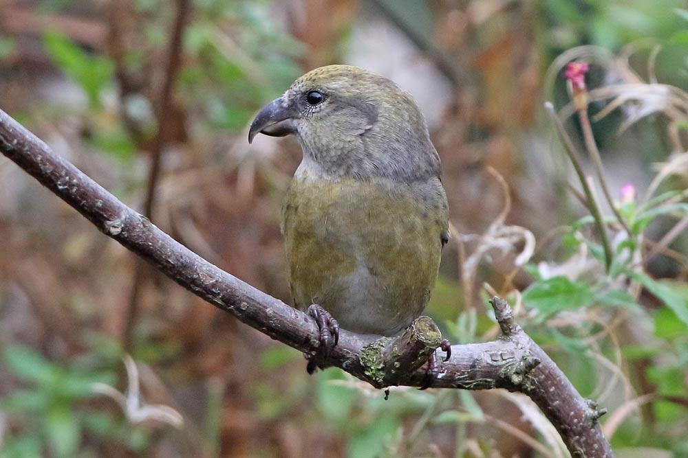 ... im Profil wirkt der skurrile Vogel mit dem kräftigen Kopf und dem krummen Schnabel fast wie ein kleiner Papagei..., 18.10.2016 Foto: Bernhard Glüer