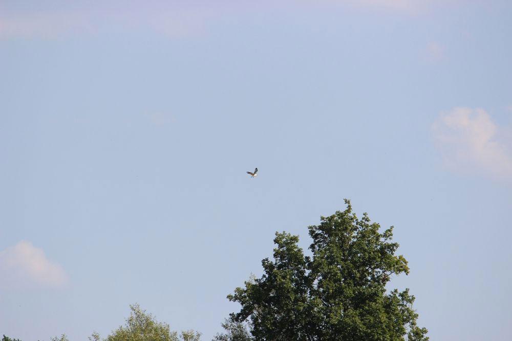 Fischadler über der Kiebitzwiese....am 12.09.16 Foto: Andreas Wilke