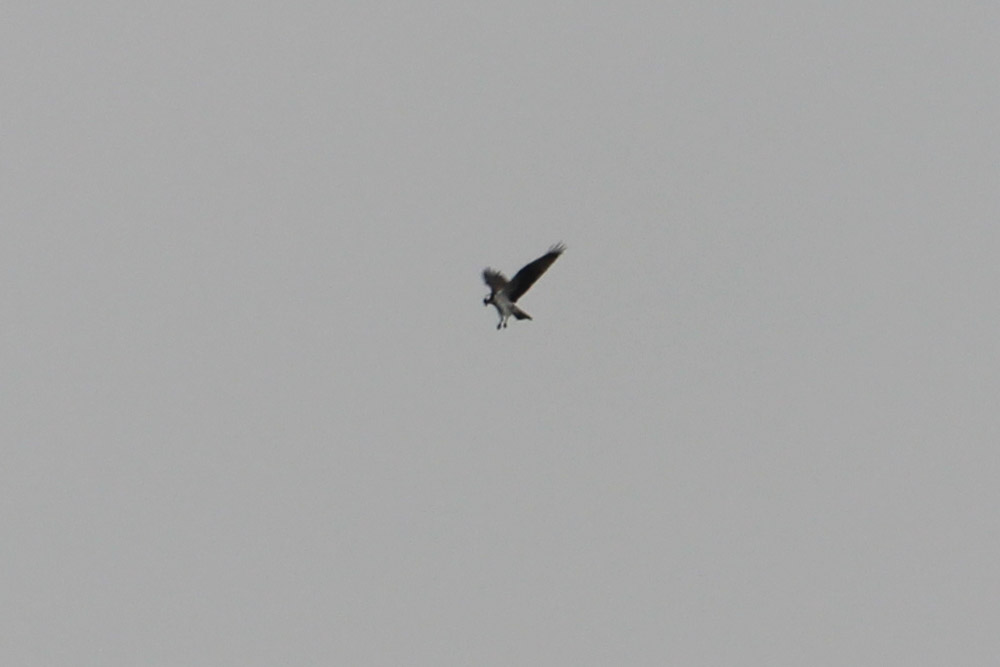 Fischadler rüttelt am Ententeich, am 13.04.2016 Foto: Andreas Wilke
