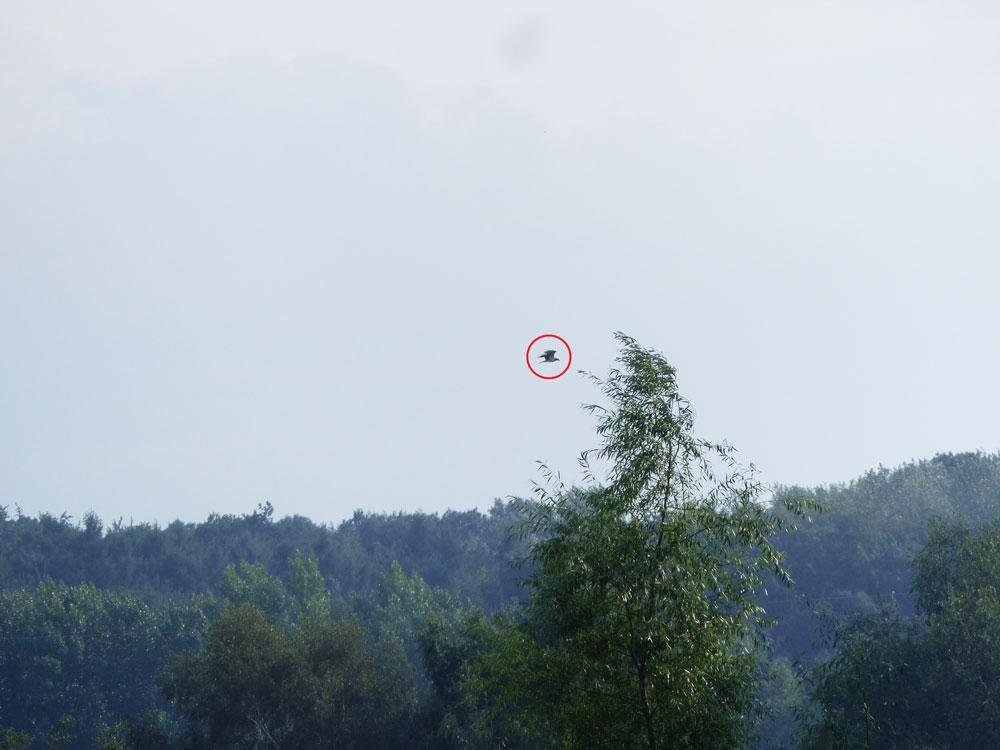 Ziehender Fischadler über den Röllingwiesen, 28.08.2016 Foto: Hans Joachim Göbel