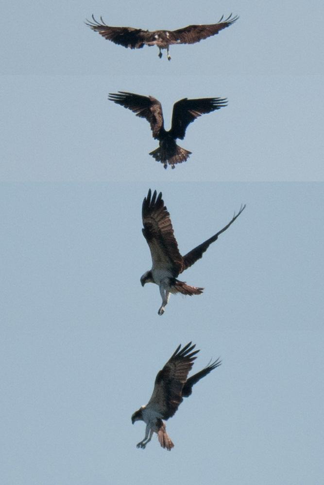 Rüttelflug des Fischadlers, hier über dem Ententeich, am 11.04.2015 Foto: Marvin Lebeus