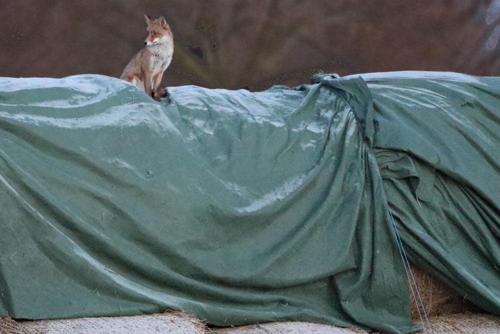 Vor einer Woche zeigte sich neben unserem Haus aus der schon mehrfach gemeldeten Geschwister-Dreier-Gruppe nur noch dieser einzelne Fuchs. Offensichtlich hat die schon fast abgeschlossene Paarungszeit die Geschwisterbande aufgelöst. Hoffentlich überleben unsere Mäuse und Ratten jagenden `Nachbarn´ die kreisweite Fuchsjagd, die für das kommende Wochenende geplant ist, 09.01.2016 Foto: Bernhard Glüer
