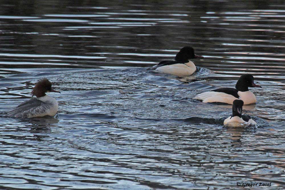 Drei Männchen mit einem Weibchen....am 04.12.16 Foto: Gregor Zosel