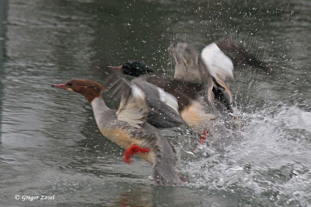 Abfliegendes Gänsesägerpaar......am 25.01.16 Foto: Gregor Zosel