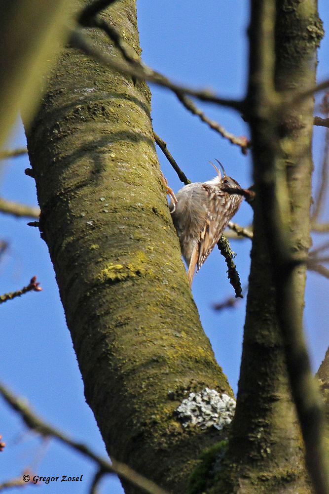 Singender Gartenbaumläufer......am 25.02.16 Foto: Gregor Zosel