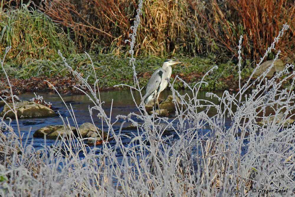 ...währenddessen fischt ein Graureiher im Mündungsbereich ....am 04.12.16 Foto: Gregor Zosel