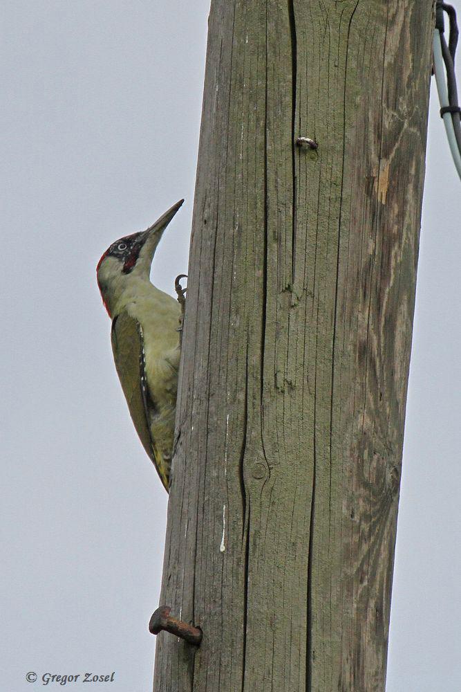 Die alten Leitungsmasten aus Holz mit ihren unzähligen Rissen beherbergen ein große Zahl an Insekten. Das haben auch die Grünspechte entdeckt, wie hier ein Männchen........am 20.09.16 Foto: Gregor Zosel