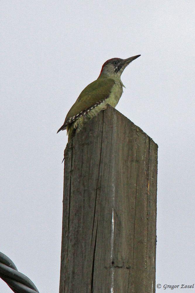 Ein Stückchen weiter ein weiterer Grünspecht, der einen Mast als Aussichtsturm nutzt.....am 20.09.16 Foto: Gregor Zosel