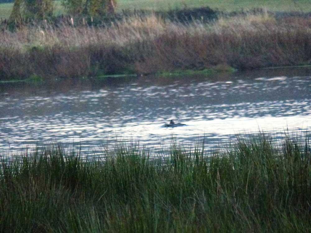 . . . schwimmt mit der Bläßralle zum Ufer, Röllingwiesen am 23.10.2016  Foto: Hans Joachim Göbel