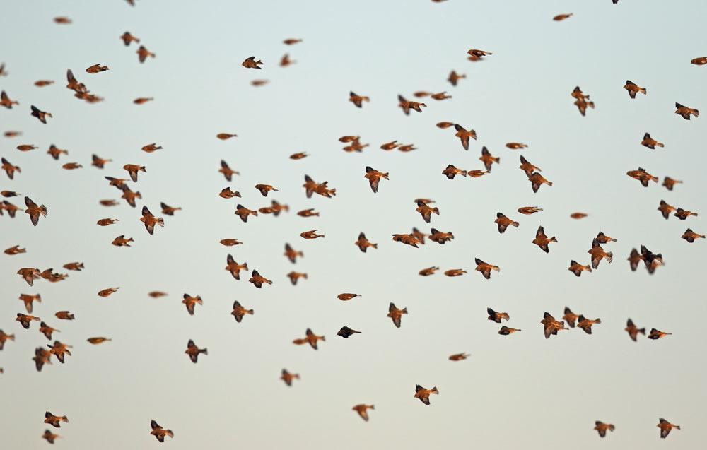 Mehr als 300 Bluthänflinge mit einzelnen Grünfinken, Goldammern..., 06.12.2016 Foto: Bernhard Glüer