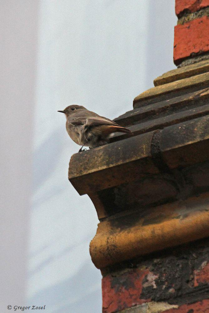 Hausrotschwanz an der Marienkirche. In den Ritzen zwischen den Ziegelsteinen suchte er flatternd nach Insekten.....am 26.12.16 Foto: Gregor Zosel