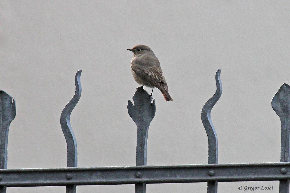 Noch einmal in bester Pose.....am 26.12.16 Foto: Gregor Zosel