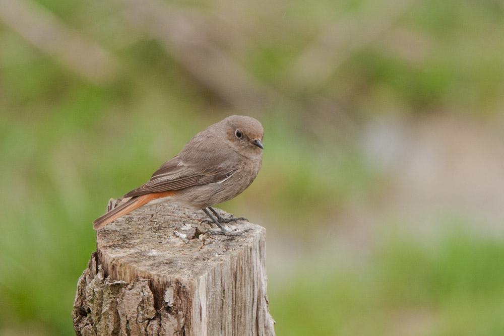 Hausrotschwanz-Weibchen, am 05.04.2015 Foto: Marvin Lebeus