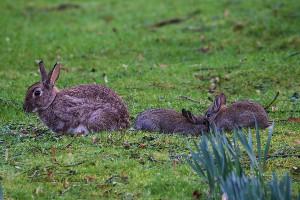 Die Kaninchen haben bereits nachwuchs. 23.02.2016 (Foto: G.Reinartz)
