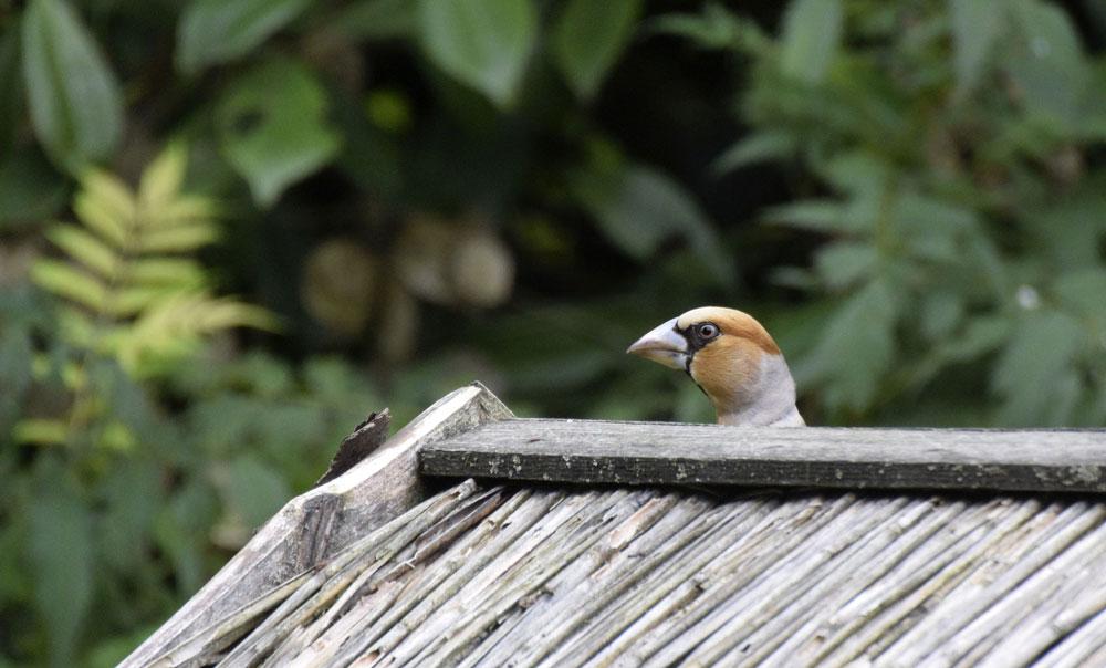 Altvogel im Juli am Futterhaus in Bönen,  Juli 2016 Foto: Janine Teuppenhayn