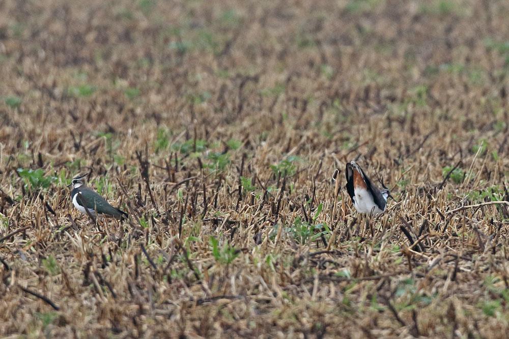 ... hier zeigt das Männchen bereits auf eine potentielle Nestmulde, 23.02.2016 Foto: Bernhard Glüer