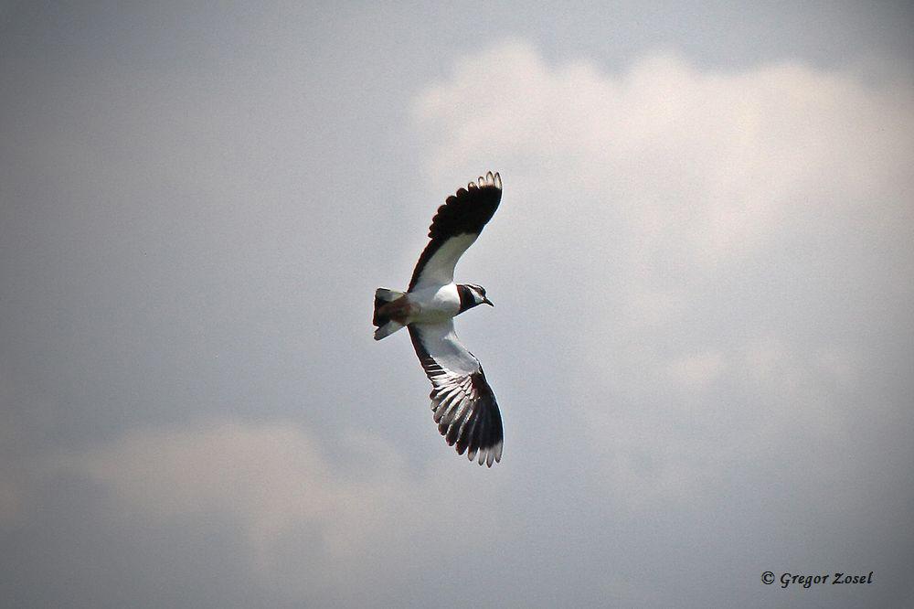 Immer noch sitzt lediglich ein Kiebitz auf seinem Nest, während die restlichen Paare immer noch mit der Balz beschäftigt sind....am 16.04.16 Foto: Gregor Zosel