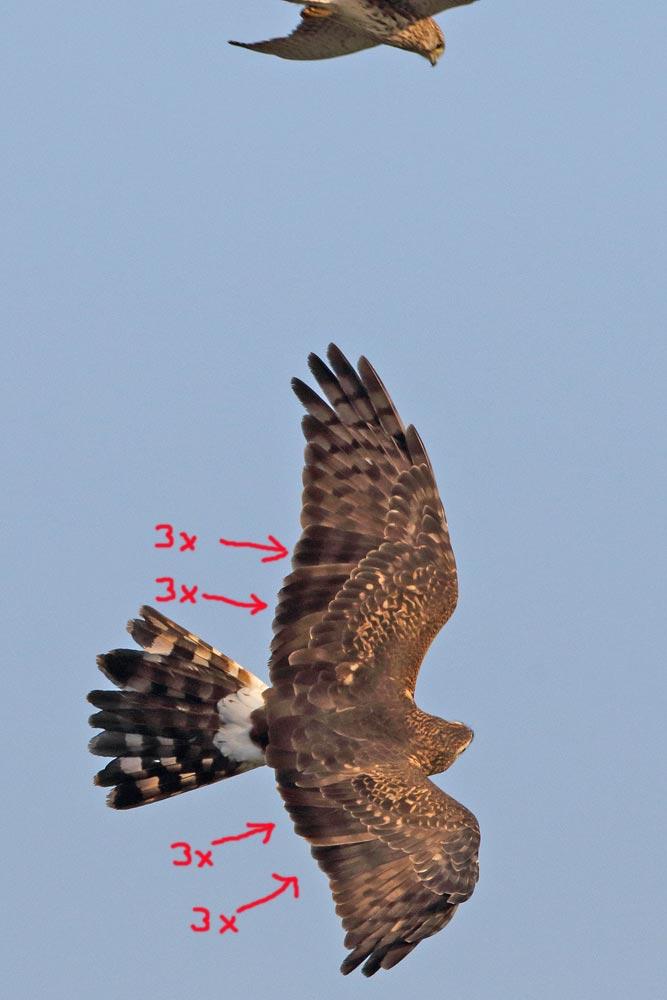 ... dieses Weibchen am Folgetag (wird gerade von einem Turmfalken attackiert) zeigt zwar ähnliche Unregelmäßigkeiten, jedoch sind es in jedem Flügel zweimal drei `Neufedern´..., 18.10.2016 Foto: Bernhard Glüer