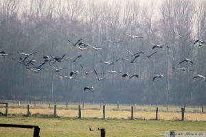 Mindestens 110 Kraniche rasten in den Rieslfeldern Werne am 28.02.2016 Foto: K.Nowack