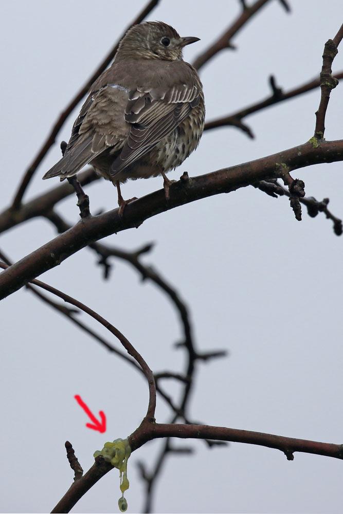 ... die sich in dem Apfelbaumgeäst mit ihrem klebrigen Schleim festsetzen und vielleicht für eine neue Mistelgeneration sorgen, 02.12.2016 Foto: Bernhard Glüer
