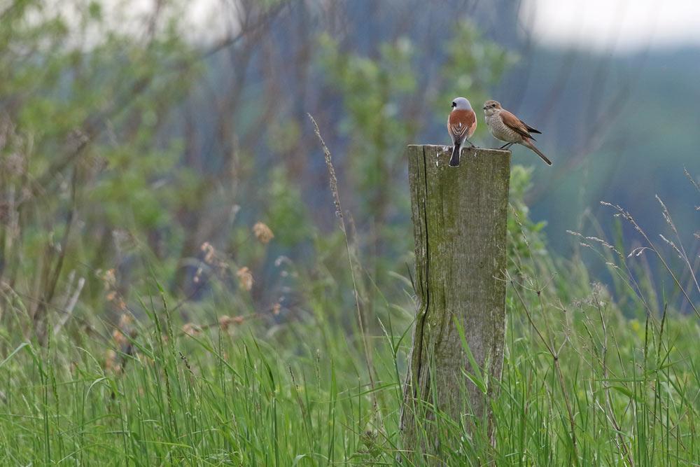 Neuntöterpaar auf Grenzpfosten am Feldvogelschutzfeld im Hemmerder Ostfeld, 19.05.2016 Foto: Bernhard Glüer