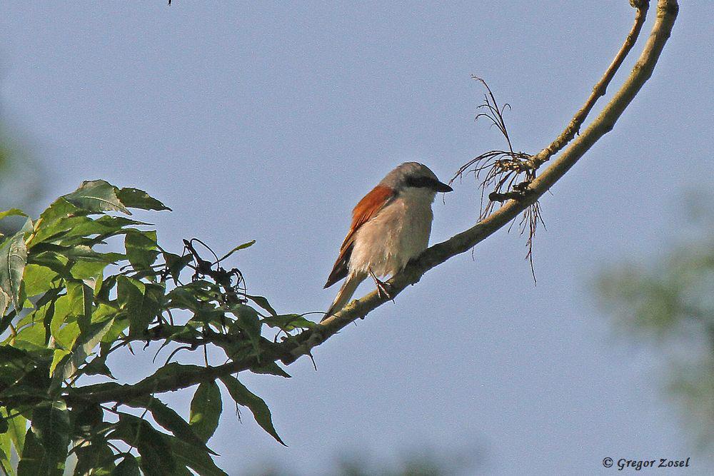 Das Männchen macht vom Baum aus Jagd auf Fluginsekten.....am 26.06.16 Foto: Gregor Zosel