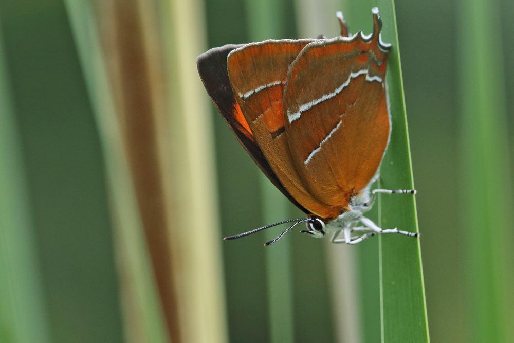 ... entwickelte sich nun knapp ein Jahr später ein schöner Schmetterling..., 14.06.2016 Foto: Bernhard Glüer