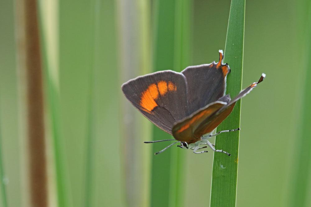 ... ein Nierenfleckzipfelfalter, wobei nur das Weibchen - wir hier zu sehen - den namengebenden, nierenförmigen, orangefarbenen Fleck auf dem Vorderflügel hat, 14.06.2016 Foto: Bernhard Glüer