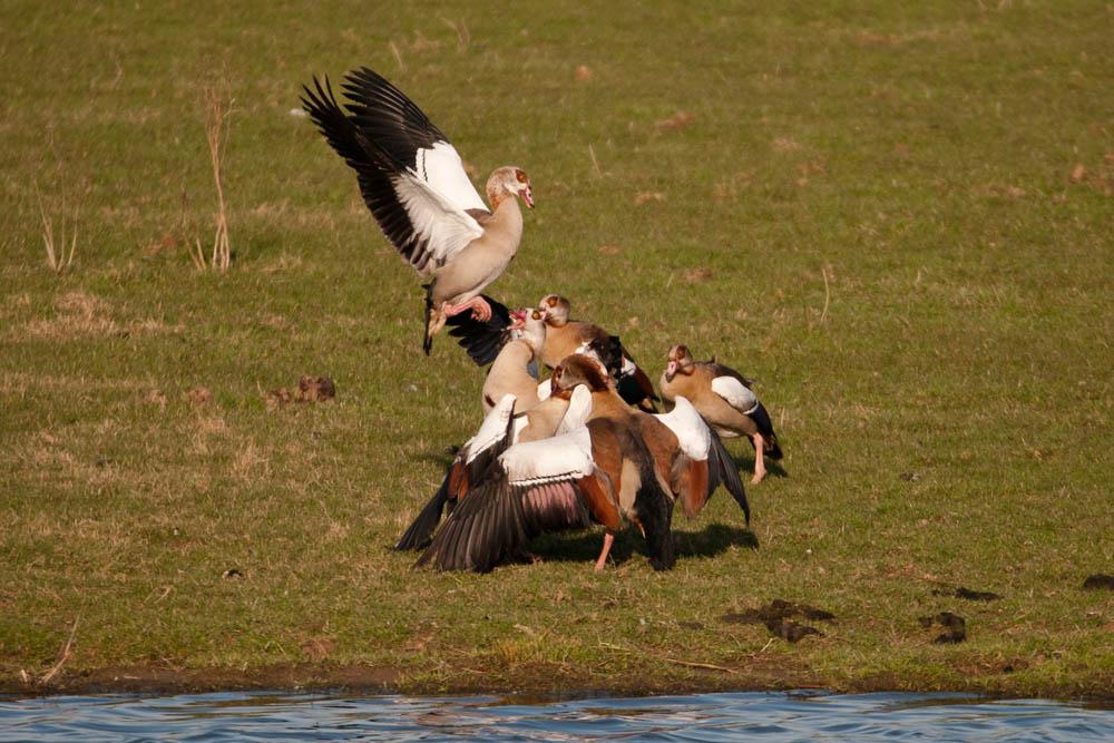 Während bei dem Rest der Bande wieder mal die Federn fliegen, am 26.03.2016 Foto: Marvin Lebeus